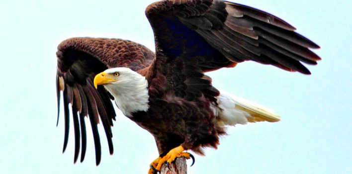 Police to use eagles to take down drones